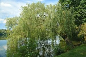 O Vimeiro (Salix x rubens)