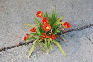 flor arlequim