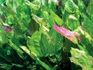 Plantas Alimentícias Não Convencionais (PANC)