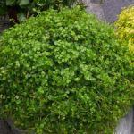 Lágrimas-de-Bebê (Soleirolia soleirolii)