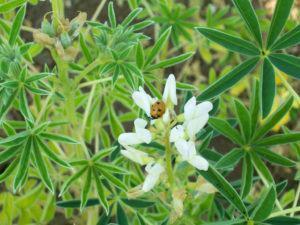 Que Plantas Cultivar em Adubação Verde