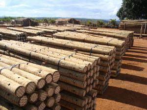 madeira eucalipto