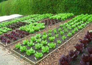 horta canteiro