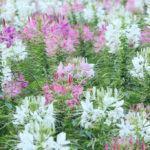 Cleome ou Flor-Aranha  (Cleome L.)