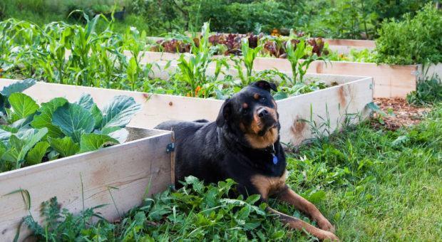 Como Proteger a Horta Caseira de Animais de Estimação