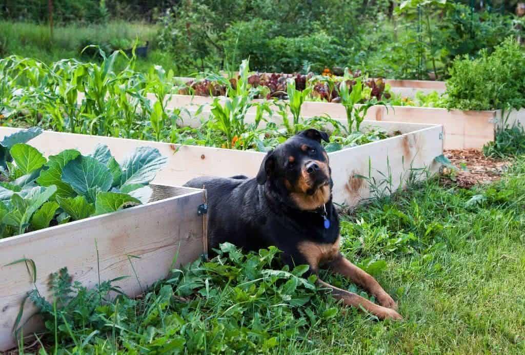 Como Proteger A Horta Caseira De Animais De Estima 231 227 O