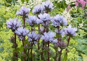 Flores Azuis para Jardineiras e Canteiros