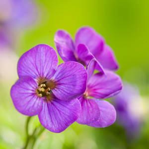 aubrieta-flores