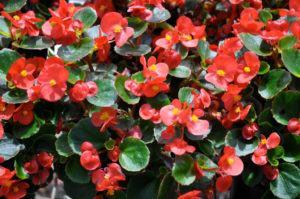 Flores Vermelhas para o Verão