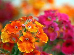 flor-do-cabo