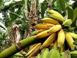bananas cacho