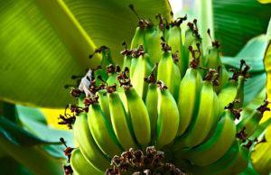 Colheita da Banana no Pomar Doméstico
