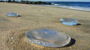 Água-Viva e Medusas: no Verão, Tenha Cuidado