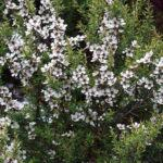 Erica-Japonesa (Leptospermum scoparium)