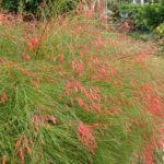 Russélia (Russelia equisetiformis)