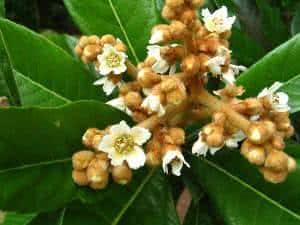 flor de nespera