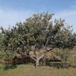 Açoita-cavalo (Luehea divaricata)