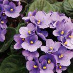 Violeta Africana: Como Cuidar e Fazer Florescer