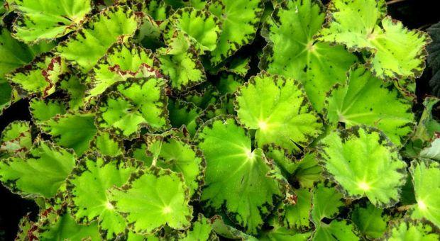 """Begônia """"River-Nile"""" (Begonia rhizomatous river)"""