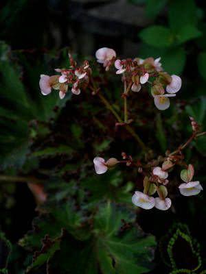 begonia river nile flor