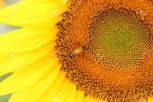 girassol abelha