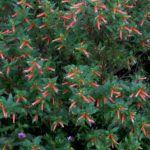 Flor de Santo Antônio (Cuphea ígnea)