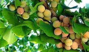 frutos gingko biloba