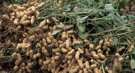 amendoim raízes