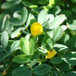 O Amendoim (Arachis hypogiae)