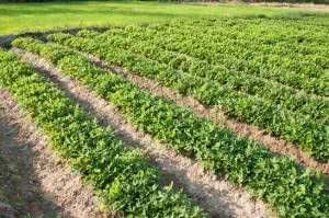 plantaçao de amendoim