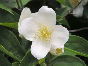 flor silindra