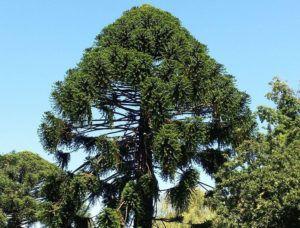 Pinheiro Bunia (Araucaria bidwillii)