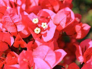 bouganville flor