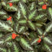 Planta-Tapete (Episcia)