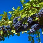 Plantio e Cultivo Doméstico de Videiras