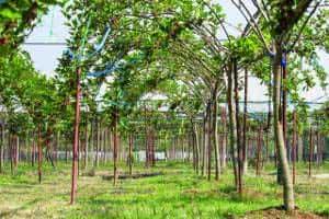plantaçao de amoreiras