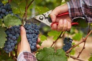 colheita corte cacho de uva