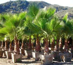 palmeira washingtonia robusta