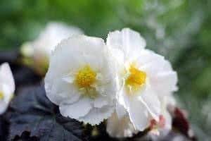 begonia tuberosa crispa