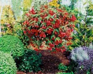Begonia-tuberosa-Tenella-Scarlet