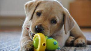 Brinquedos Prediletos de Filhotes de Cachorro