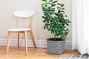 planta cadeira