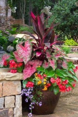dracena vermelha para floreiras