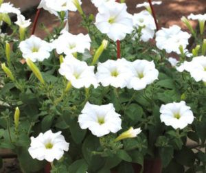 petunia para floreiras