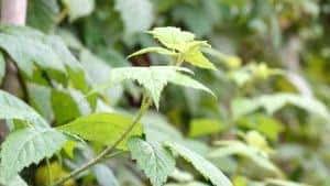 amoreira-preta arbustiva
