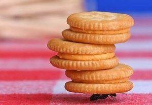 formiga biscoitos