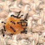 Como Evitar Formigas em Casa