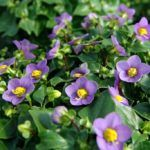 Como Plantar a Violeta-Persa (Exacum affine)