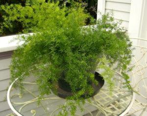 Plantas Pendentes para Decorar sua Varanda ou Sala