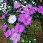 Como plantar o Manacá da Serra (Tibouchina mutabilis)